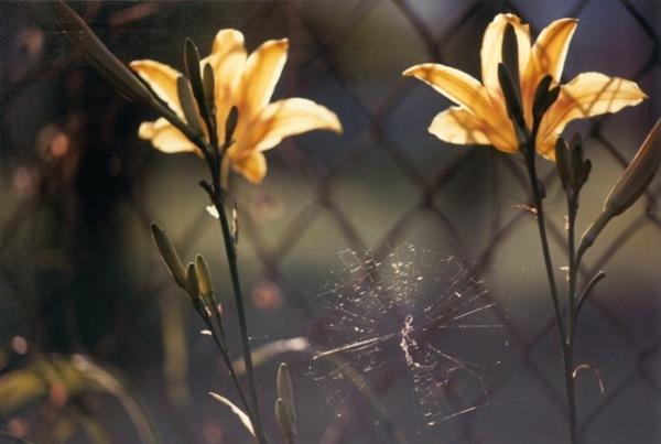 Amy Jackson yellowdaylilies ok mag.