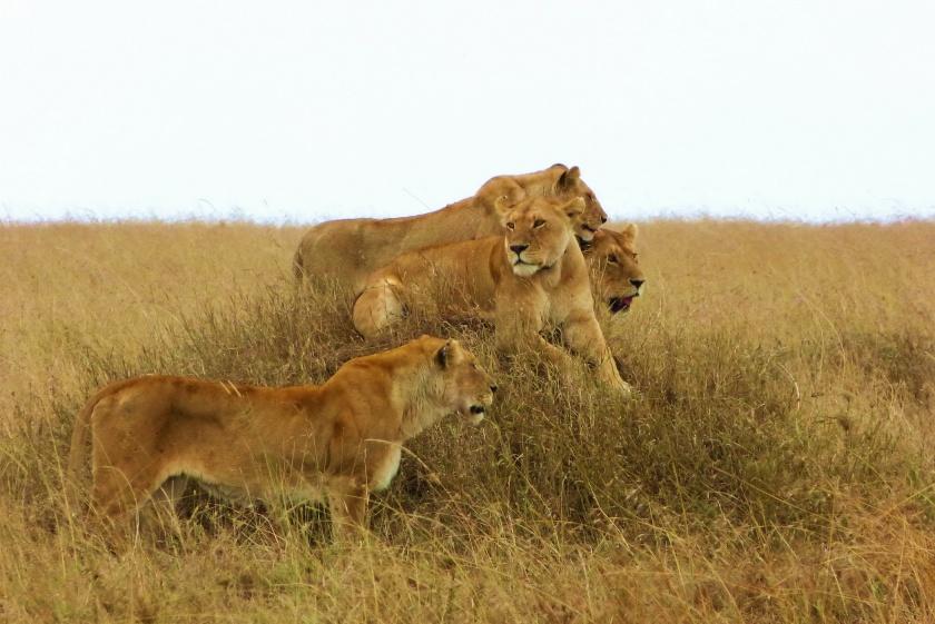 H. Allen Benowitz Lion Pride; Serengeti, Tanzania. 2012